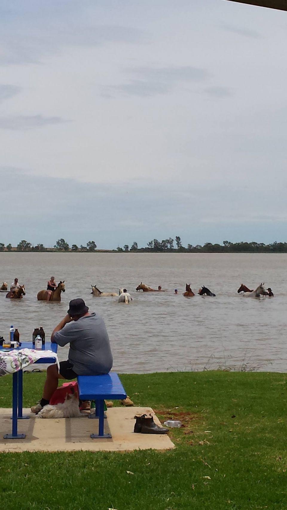 horses swimming