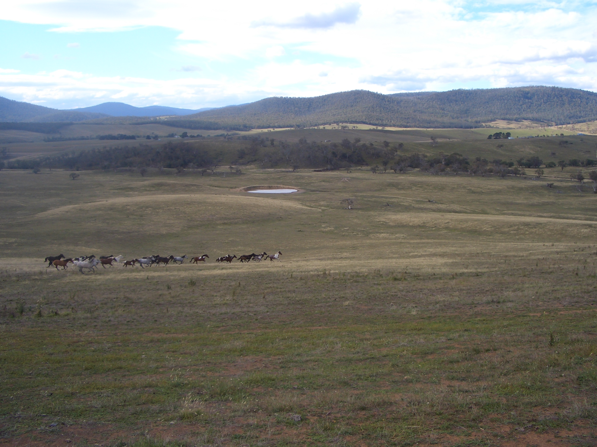 Mob of horses bred from Brumbies.